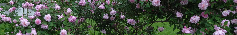 Rose Adventures